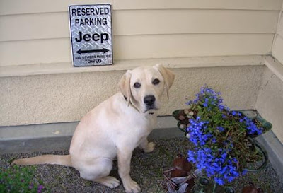 Guide Dog puppy Jeep