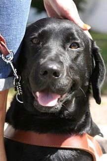 A black Lab Guide Dog