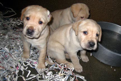 Three baby yellow Labrador Retrievers
