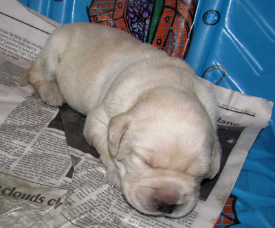 Sleeping yellow Lab 'Provence' puppy