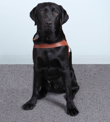James, adult male black Labrador Retriever in Guide Dog harness sitting down