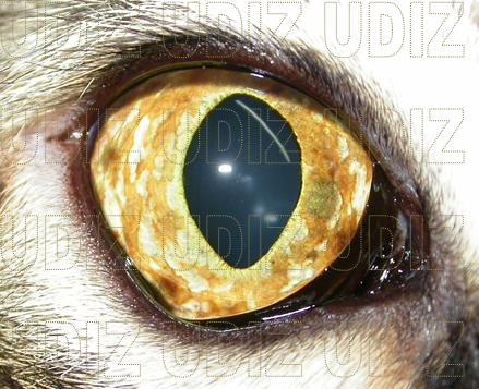 Melanosis Eye Dog