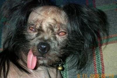 Los 10 perros mas feos del mundo
