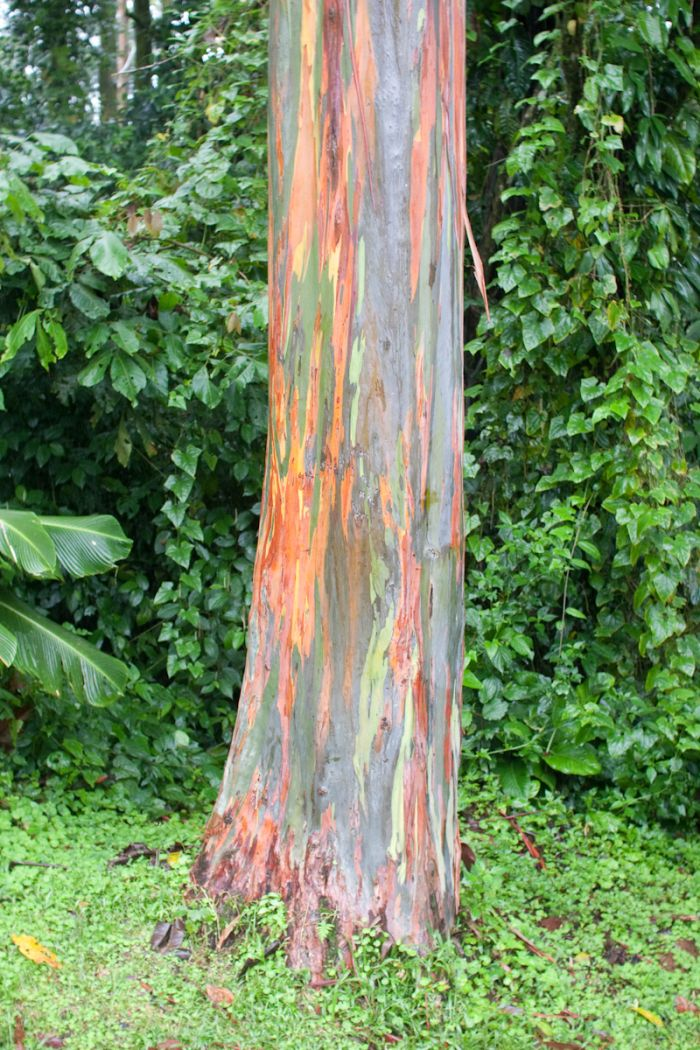 Rainbow Eucalyptus Damn Cool Pictures