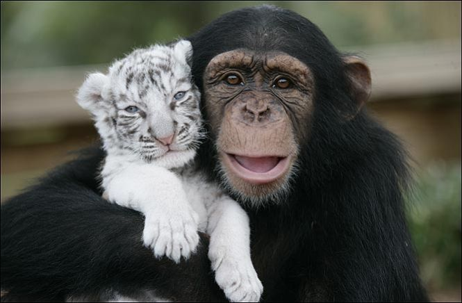 This is too cute! Monkey_tigercubs_06