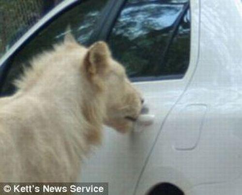 http://3.bp.blogspot.com/_mmBw3uzPnJI/SwKnjXCFpPI/AAAAAAAA3PY/vrn__V9lx6o/s1600/lion_opens_car_door_03.jpg