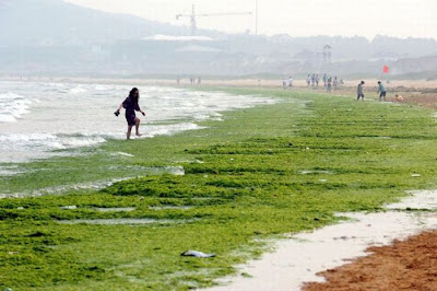 Seaweeds Invade the Shores of China Seen On www.coolpicturegallery.net