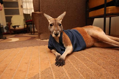 Pet Kangaroo Seen On www.coolpicturegallery.us