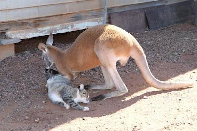 Pet Kangaroo Seen On www.coolpicturegallery.us