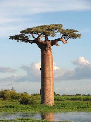 Baobab Tree Seen On www.coolpicturegallery.us