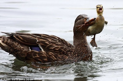 Bossy Duck Gives Duckling a Dunk Seen On  www.coolpicturegallery.us