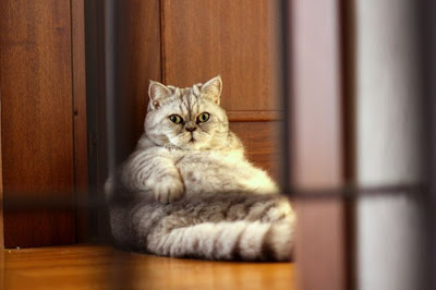 Fat Cat Giuly is a New Internet Sensation Seen On  www.coolpicturegallery.us