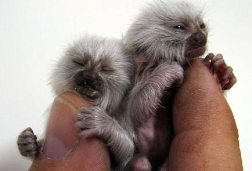 http://3.bp.blogspot.com/_mmBw3uzPnJI/TQjfVmmeH8I/AAAAAAAB0os/UY2keV22LbI/s1600/finger_monkeys_07.jpg