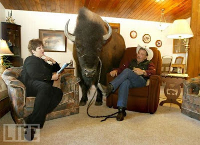 Buffalos Can Also Be Amazing House Pet Seen On  www.coolpicturegallery.us