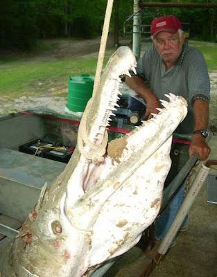 Alligator Gar Fish Seen On www.coolpicturegallery.us