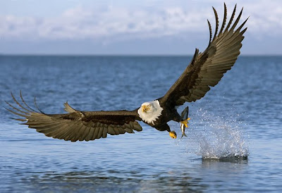 photo credit http://www.amontessorimusingplace.org/2010/05/eagles-of-hornby-island.html