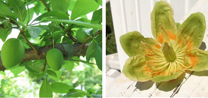 [tulipand+plums.jpg]