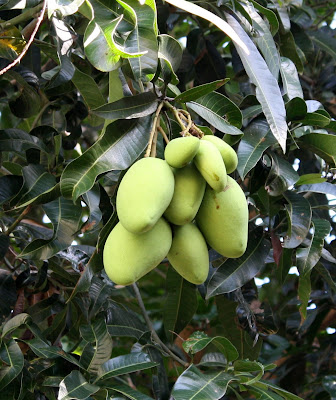 mango tree essays In the essay celestial women beneath a mango tree the author analyses an exquisite piece of art celestial woman beneath a mango tree.