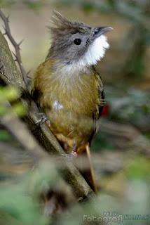 burung cucak jenggot umumnya digunakan sebagai burung m