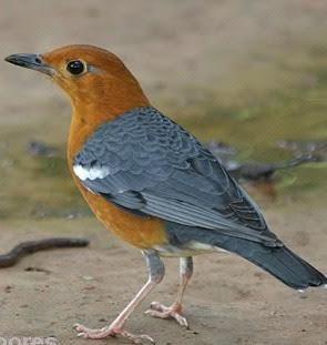Tips memilih burung Anis Merah (AM) yang bagus