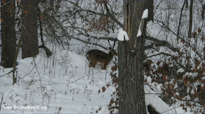 white tailed deer in december