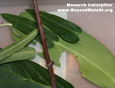 monarch caterpillar project