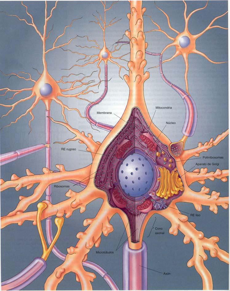Hermosa La Anatomía Y Fisiología Del Ejercicio De La Neurona 13 Pdf ...