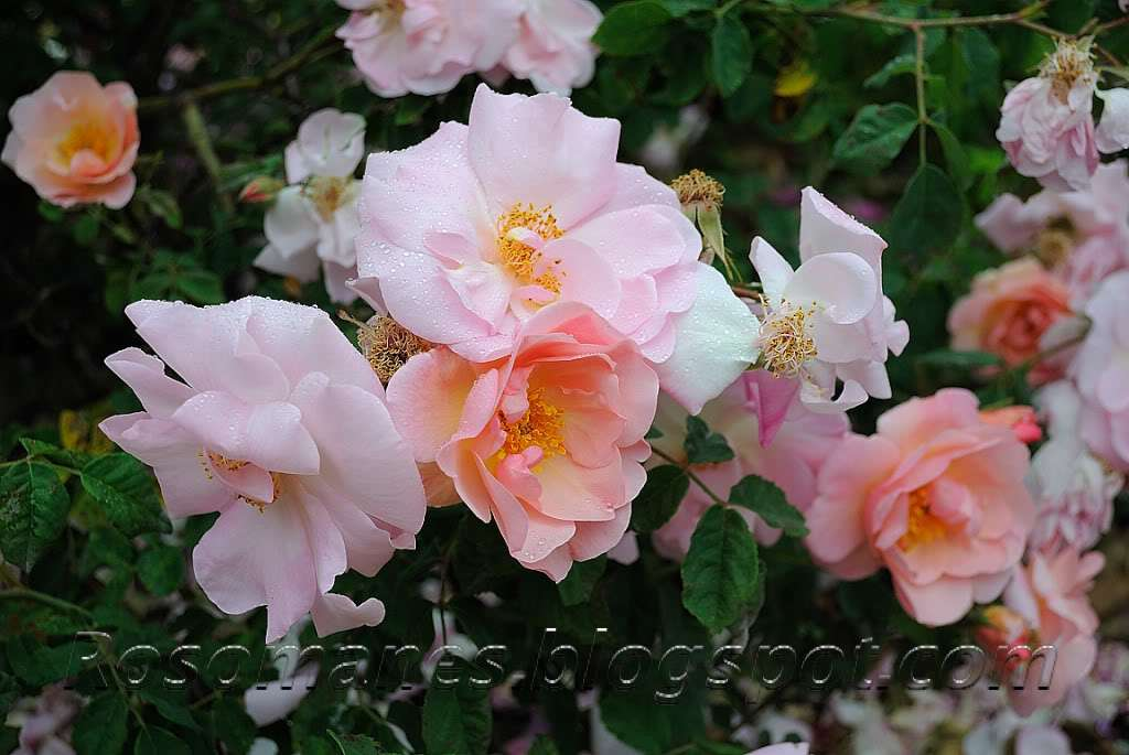 Rose (Rosa 'Nymphenburg') in the Roses Database (National ...