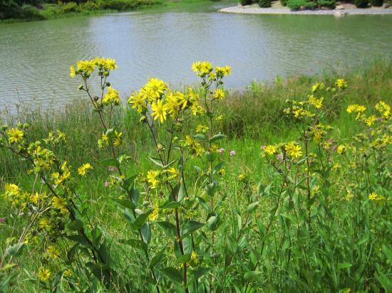 Flowering Weeds Pictures - Beautiful Flowers