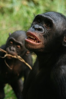 image Bonobo she knows how