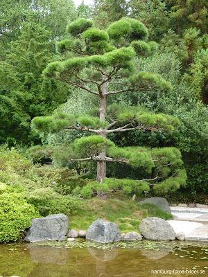Baum im japanischen Garten, Hamburg, Park