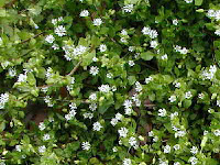 Chickweed photo by Tony Presley