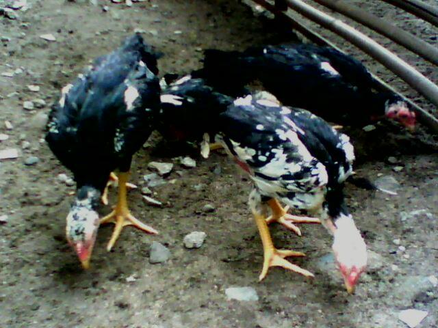 Ayam kwalitas unggul