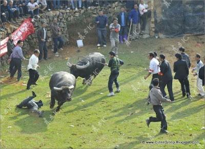 Bullfights in China