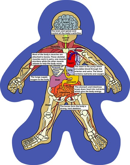 digestive system diagram for kids. digestive system diagram for