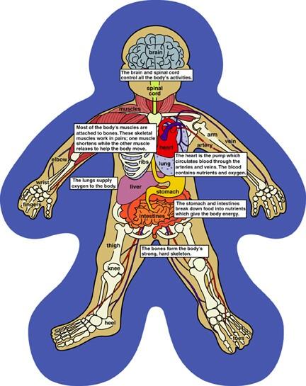 Mrs  Vrugteman U0026 39 S Virtual Classroom  The Human Body