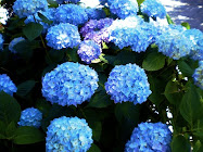....HYDRANGEAS