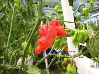 Bhut Jolokia-www.refiningfirechiles.com