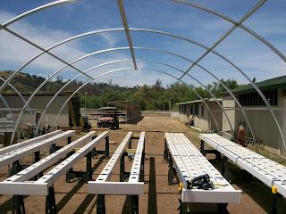 bhut jolokia plants-www.superhotchiles.com