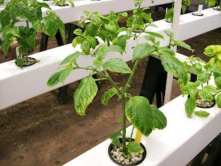 bhut jalokia seeds