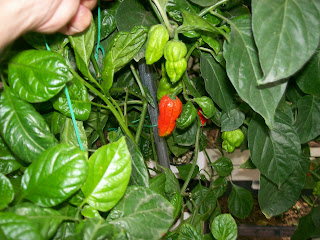 Trinidad 7 Pot-www.superhotchiles.com, Trinidad 7 Pod