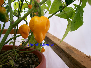 Trinidad Scorpion-www.superhotchiles.com