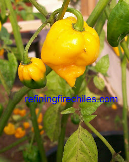 Yellow Bhut Jolokia-Chocolate Bhut Jolokia