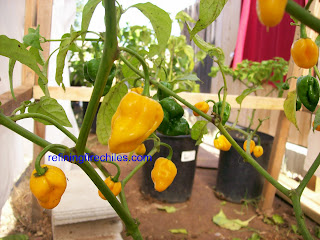 Trinidad Scorpion seeds, Bhut Jolokia seeds