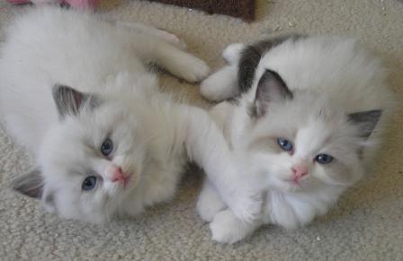 Teacup Ragdoll Cats Kittens widescreen wallpaper