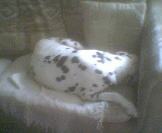 Dalmatian Lancelot with his face buried in the corner of the couch