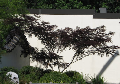 future plants by randy stewart albizia siris silk trees. Black Bedroom Furniture Sets. Home Design Ideas
