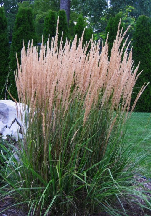 Future Plants By Randy Stewart Feather Reed Grass