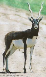 antilope de la India Antilope cervicapra