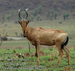 kongoni Alcelaphus buselaphus
